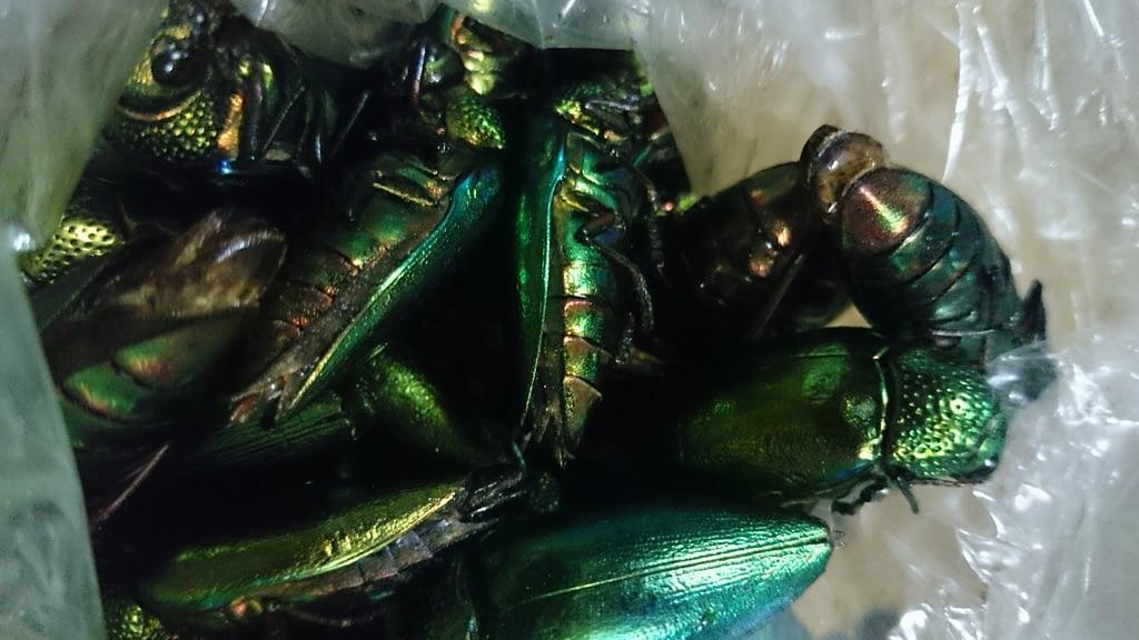 サワンナケートのソンコン郡で保存食として食べられている炒った玉虫