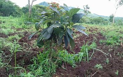 Avocado cultivation @ Boroven Plateau, Parkson, Laos