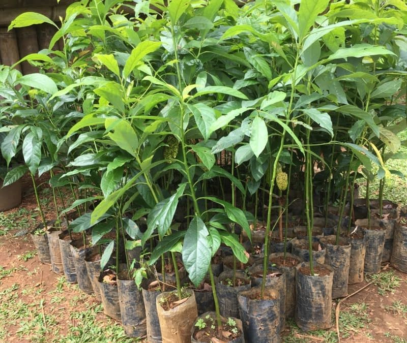 Planted avocado seedlings in the organic farmland of Parkson.
